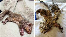 施工現場潛在不少危險!加拿大上個月就有一隻小松鼠誤闖施工地,結果不小心掉進未乾的填充材料,導致牠的身體開始「凝固」,僵硬成一團灰色肉球。2名好心人士發現後,趕緊帶松鼠找獸醫治療,所幸松鼠已痊癒,獸醫也將牠放生了。(圖/翻攝自臉書St. George Veterinary Clinic)