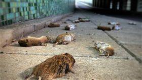 荷蘭,老鼠,死亡,天敵,自殺,遷徒,死亡,追殺,屍體,田,屍體 圖/翻攝自推特