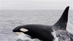 鯨魚,捕鯨,海洋(圖/翻攝自Pixabay)