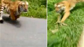 真的是馬路如虎口!印度新德里一名騎士在騎車時,碰到一隻兇猛的老虎,可怕的是,老虎竟朝他狂追,嚇得騎士猛吹油門,最後成功甩掉老虎。影片曝光後,掀起網友熱議,紛紛直喊:「沒油就慘了,幸虧騎得夠快!」(圖/翻攝自臉書Careta)