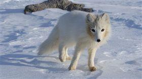 北極狐,圖/翻攝自Pixabay