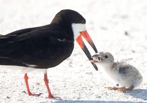 海鳥,美國,佛羅里達州,菸蒂(圖/翻攝自臉書)
