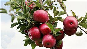 蘋果樹 樹 (圖/pixabay)