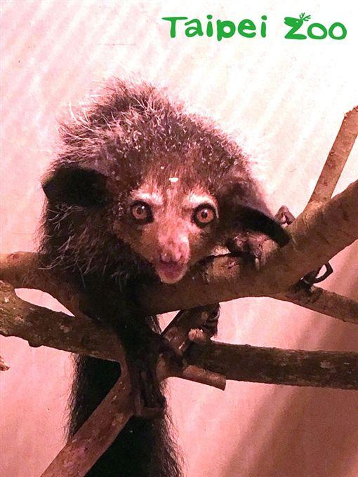 上野動物園,指猴,台北市立動物園,動物園,馬達加斯加