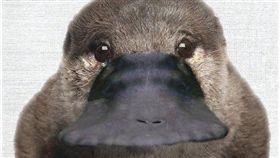 鴨嘴獸,正面。(圖/翻攝自推特)