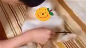 貓咪,梳子,六塊肌(圖/翻攝自抖音用戶802929502)
