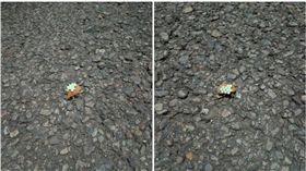 荔枝椿象,產卵,金龜子,銅點花金龜(圖/劉姓網友授權使用)