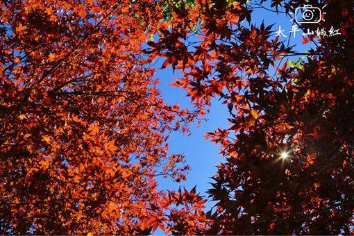 ▲太平山紫葉槭紅(圖/部落客:「肉魯 走遍全台灣‧環遊全世界」授權提供,非經同意請勿轉載。以下同)