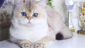 史上最貴主子!他花315萬買英短貓 「藍眼+金毛」美炸(圖/翻攝自微博)