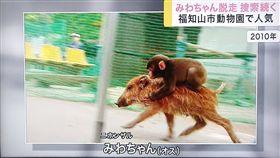 野豬騎士,獼猴,野豬(圖/翻攝自推特)