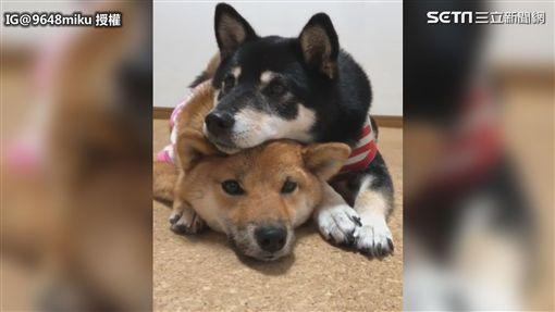 ▲Miku和Rina是日本毛小孩界的網紅。(圖/IG@9648miku 授權)