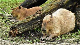 台北市立動物園,熱帶雨林室內館,穿山甲館,Pangolin Dome,暑假,動物園,水豚