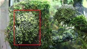 蛙如其名 苔蘚蛙停在石上難辨認苔蘚蛙「蛙如其名」,身上布滿像苔蘚般的青色、綠色或咖啡色突起物,是名偽裝高手。(台北市立動物園提供)中央社記者梁珮綺傳真 108年7月10日