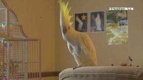 文 鸚鵡是舞王1700
