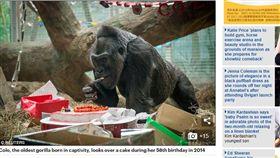 大猩猩愛派對。(圖/翻攝自《每日郵報》)
