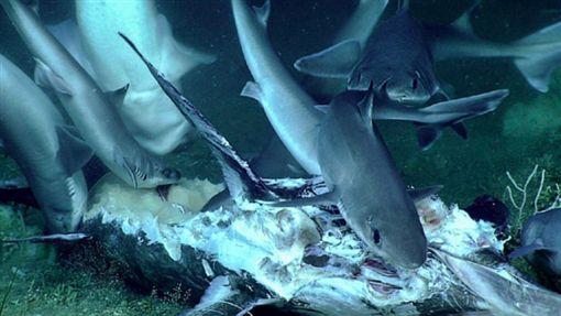 深海角鯊啃食劍魚遺體。翻攝自oceanexplorer.noaa.gov
