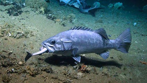 多鋸鱸生吞深海角鯊。翻攝自oceanexplorer.noaa.gov