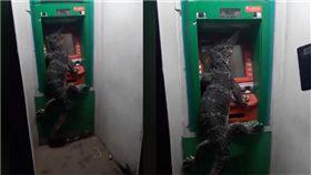 甚麼?這是「四腳獸」嗎?泰國一名網友在臉書上傳一段影片,影片中可以看到一隻巨大的蜥蜴居然爬上了一台ATM,整個人霸占螢幕,看起來就像是要「領錢」,讓目擊的民眾哭笑不得,只能乖乖排隊,等待蜥蜴自動離開。(圖/翻攝自กฏมีไว้แหก臉書)