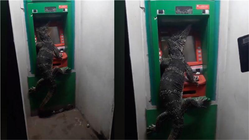 鱷魚爬ATM?民眾貼近一看…驚見巨蜥「提款」用手遮密碼