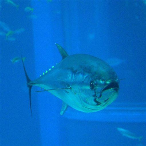 太平洋黑鮪(圖/翻攝自維基百科)