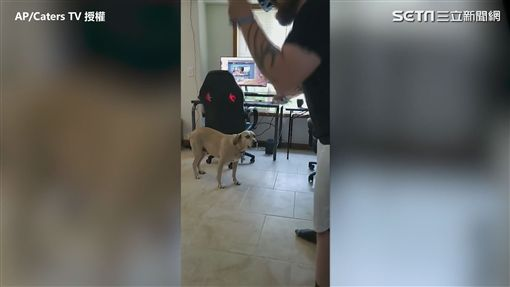 ▲狗狗Hera看著主人玩VR。(圖/AP/Caters TV 授權)