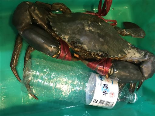 漁民捕獲巨無霸沙公!下場被煮來吃了(圖/翻攝畫面)
