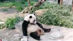 中國國寶又遭虐! 大貓熊無辜被石頭砸