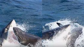 (圖/翻攝自YouTube Barcroft TV)黃金海岸,大白鯊,互食