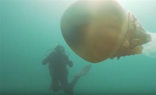 英國,水母,巨大,潛水(圖/翻攝自YouTube)