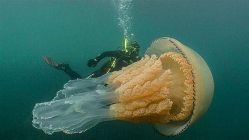 英國,水母,巨大,潛水(圖/翻攝自推特)