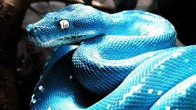 藍化綠樹蟒