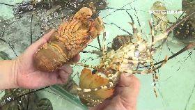 蝦蛄媲龍蝦1200