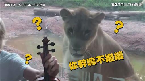 聽到音樂凍未條!獅子激動「聞歌起舞」