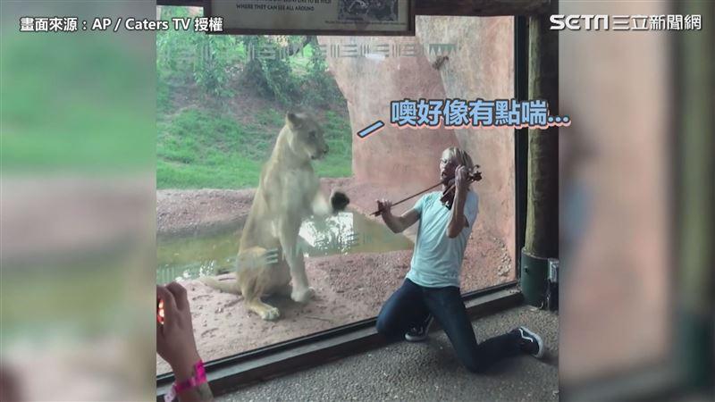 影/聽到音樂凍未條! 獅子激動「聞歌起舞」