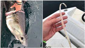 (生態殺手!塑膠圈緊套鼠鯊 長越大纏越緊「嵌進肉」險斷頭) 美國,鼠鯊,塑膠垃圾,環境汙染,Sulikowski Lab 合成圖/Sulikowski Lab 推特