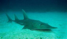 國際自然保育聯盟18日將龍紋鱝(圖)等超過7000種動物、魚類和植物列入瀕危物種「紅色名錄」。