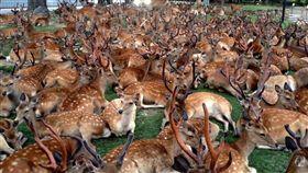 奈良,鹿,推特,聚會,草皮。(圖/翻攝自推特)