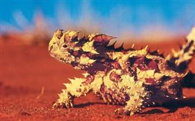 澳洲,澳洲魔蜥,沙漠,蜥蜴。(圖/翻攝自每日頭條)