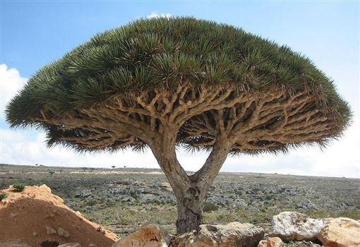 索科特拉島,外星世界,Suquṭra,島嶼,葉門 (圖/翻攝維基百科)