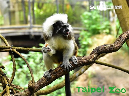 台北市立動物園,穿山甲館,閃電俠,二趾樹獺,雨林,奇怪的人,棉頭絹猴