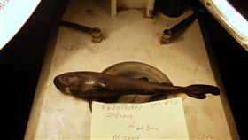 美國,口袋鯊,抹香鯨,獵食,發光