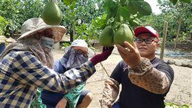 什麼文旦是送禮首選 麻豆老柚農這樣說