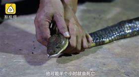 雲南,雞,眼鏡王蛇,劇毒(圖/翻攝自梨視頻)