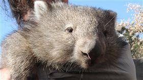 澳洲袋熊,圖/美聯社/達志影像