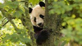 貓熊,英國,愛丁堡,動物園(圖/翻攝自微博)