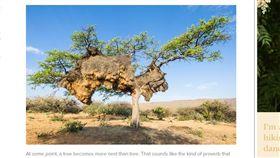 鳥巢,巨無霸,南非,群織雀。(圖/翻攝自wired)