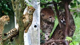 (圖/翻攝自@ eripiyo0w0推特)日本,獵豹,卡住