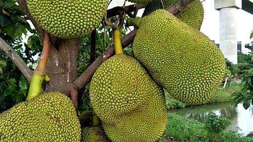 榴槤,馬來西亞,波羅蜜,中國,市場