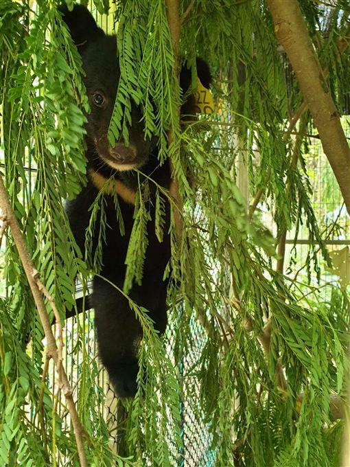 台東縣,熊寶寶,走失,蜂蜜,母熊