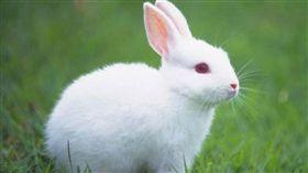 兔子,翻攝自百度